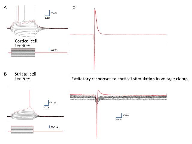 Figure_2._Corticostriatal_responses_in_mixed_cultures